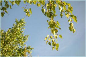 Листья берез на фоне неба