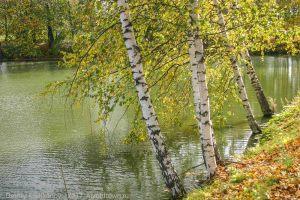 Осенние березы над нижним прудом. Усадьба Пушкина
