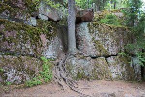 Дерево, растущее на скалах
